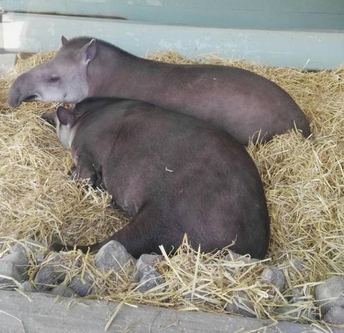 Crías de hipopótamo en el zoo